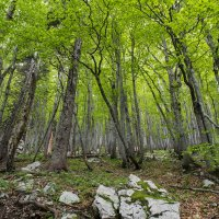 Beech forest in the Northern Velebit National Park - Faggeta nel Parco Nazionale del Velebit Settentrionale